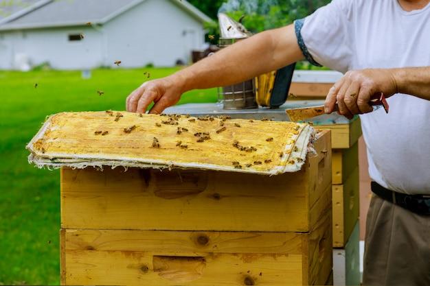 Pszczelarz otwiera ul, aby przyjrzeć się życiu rodziny pszczelej
