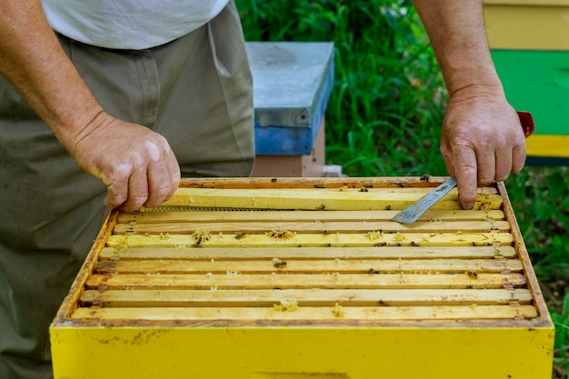 Pszczelarz pszczelarski współpracuje z pszczołami w pobliżu uli, wyjmując ramki z plastrami miodu do kontroli