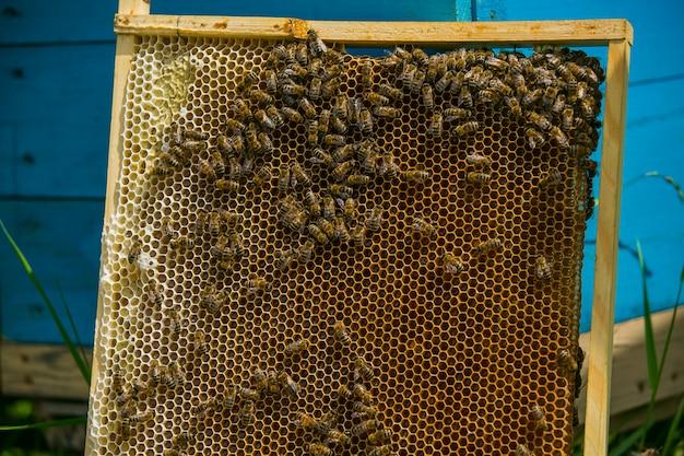 Pszczelarz rozważa pszczoły w plastrach miodu z lupą.