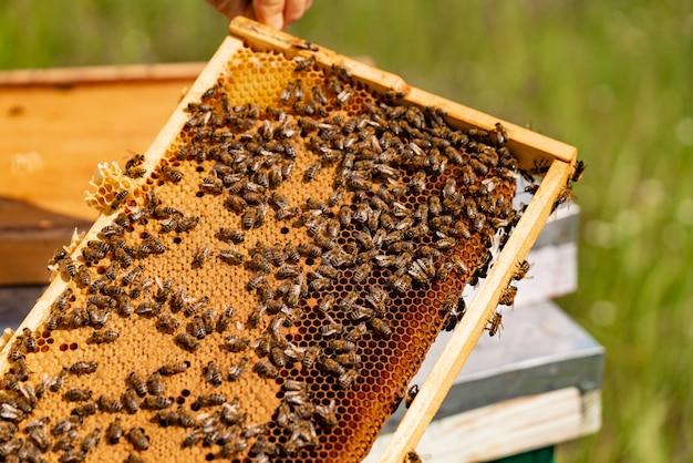 Pszczelarz sprawdza ramkę o strukturze plastra miodu z pszczołami w pasiece.