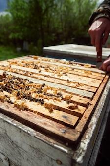 Pszczelarz sprawdza ramki z plastrami miodu w ulach w pasiece