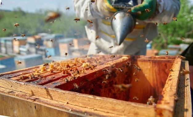 Pszczelarz sprawdza ule i rozsiewa dymem pszczoły