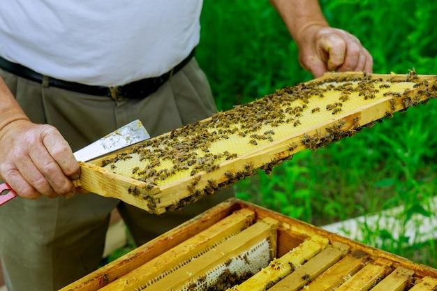 Pszczelarz sprawdza ule z pszczołami, opiekując się ramkami o strukturze plastra miodu pełnymi pszczół