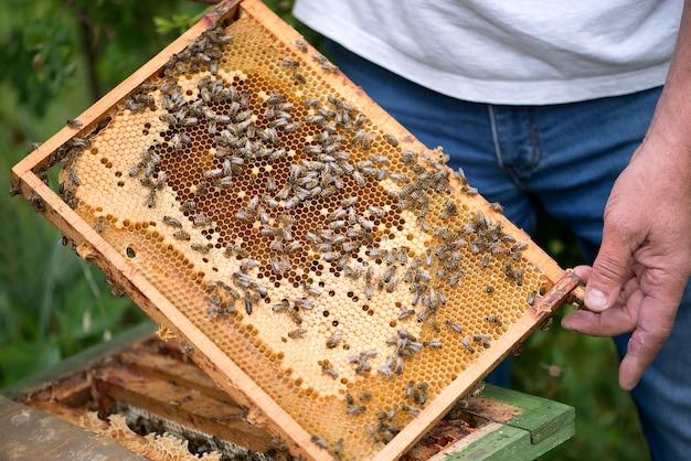 Pszczelarz trzyma komórkę miodu z pszczołami w dłoniach z bliska