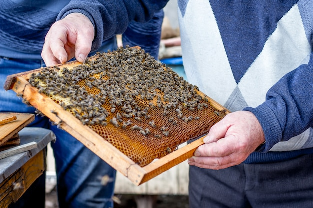 Pszczelarz trzyma w rękach ramkę z pszczołami