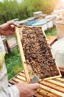 Pszczelarz trzymający ramkę z plastrami miodu i pszczołami