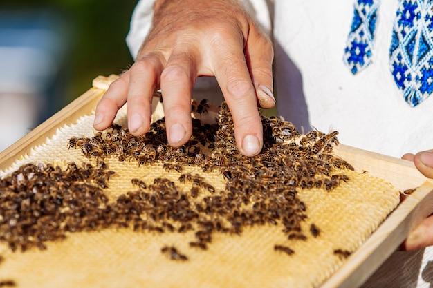 Pszczelarz w pasiece trzymający ramkę z plastra miodu pokrytą rojem pszczół