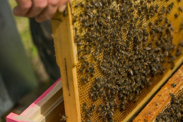 Pszczelarz w pasiece. wyciąga ramkę z ula. pszczoły na plaster miodu. pszczelarz biorący plaster miodu z ula