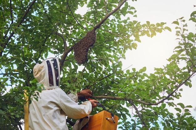 Pszczelarz wkłada ul z drzewa do pudełka