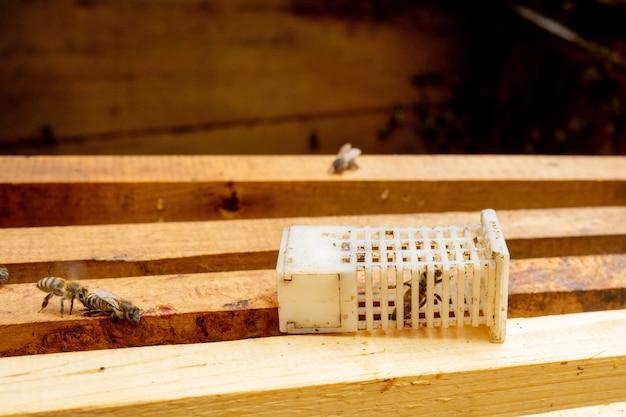Pszczelarz wprowadza nową królową pszczół do klatki wprowadzającej