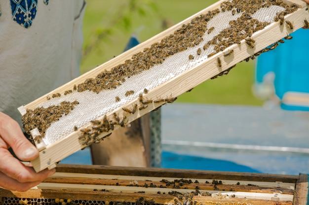 Pszczelarz wyjmując ramkę z plastra miodu z ula gołymi rękami. pszczelarz na pasiece. wyciągając ramkę z ula
