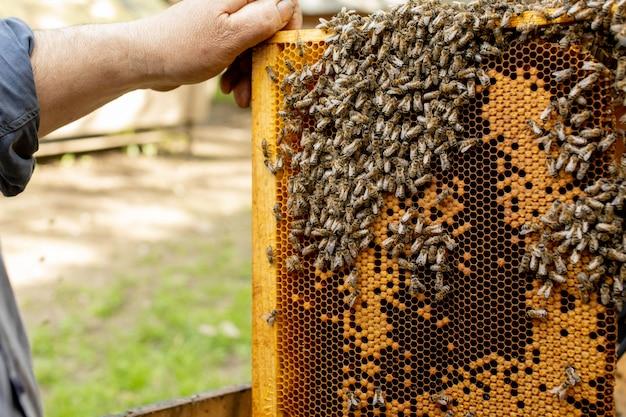 Pszczelarz wyjmuje ramki z plastrów miodu