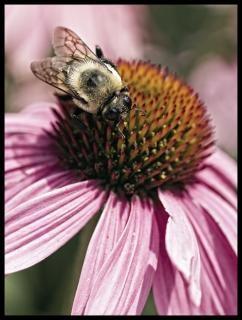 Pszczoła echinacea