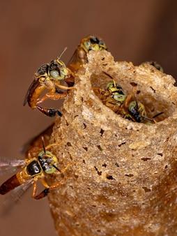 Pszczoła jatai z gatunku tetragonisca angustula