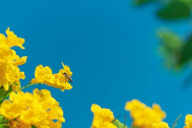 Pszczoła lata wokoło żółtego kwiatu w niebieskim niebie