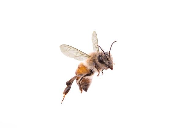 Pszczoła latająca na na białym tle