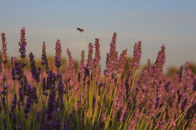 Pszczoła latająca wśród roślin lawendy. koncepcja owadów