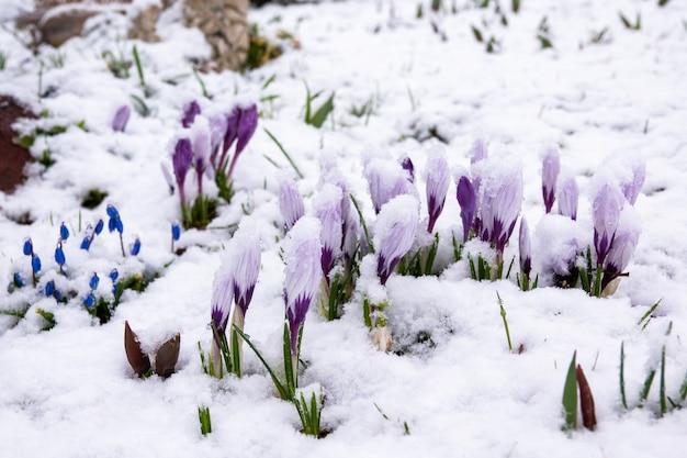 Pszczoła leci do kwitnących na śniegu pierwiosnków