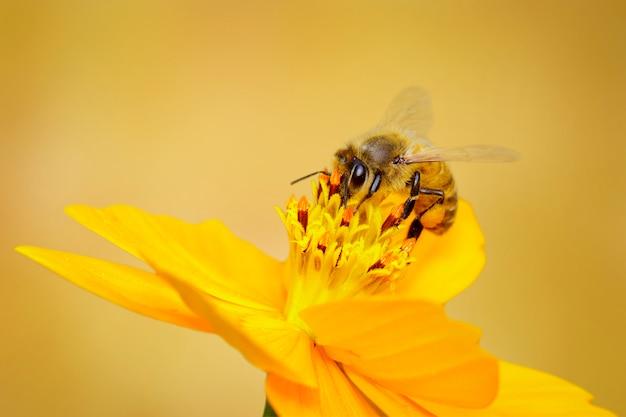 Pszczoła lub pszczoła miodna na żółtym kwiacie zbiera nektar. złota pszczoła miodna na pyłku kwiatowym. owad. zwierzę