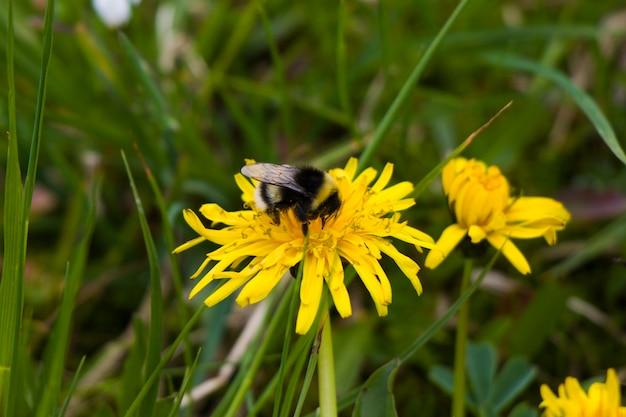 Pszczoła makro i zbliżenie, dzikie owady, przyroda i.