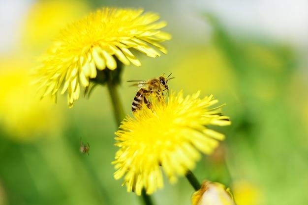 Pszczoła miodna i żółte kwiaty na zielonej trawie