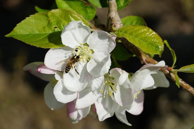 Pszczoła miodna na biały kwiat z niewyraźne tło