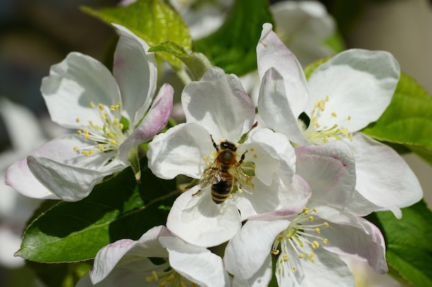 Pszczoła miodna na białym kwiatku