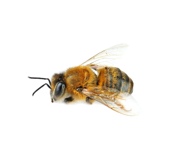 Pszczoła miodna na białym