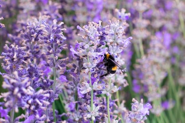 Pszczoła miodna na fioletowy kwiat lawendy w lawendowym polu latem