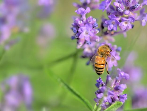 Pszczoła miodna na kwiat lawendy na zielonym tle