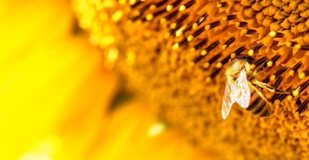Pszczoła miodna na kwiat słonecznika, zbliżenie. selektywne skupienie.
