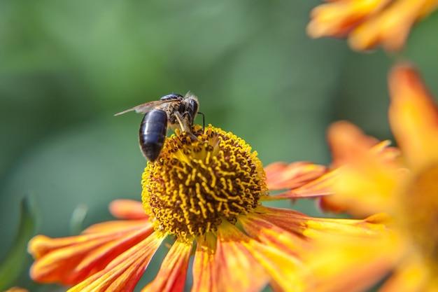 Pszczoła miodna pokryta żółtym nektarem napoju pyłkowego, zapylający kwiat pomarańczy. życie owadów