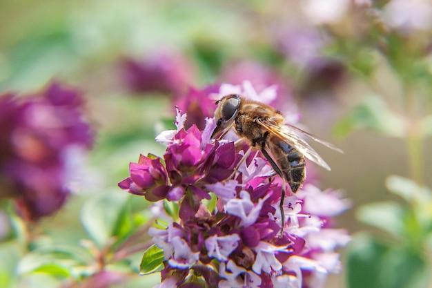 Pszczoła miodna pokryta żółtym nektarem napoju pyłkowego, zapylający różowy kwiat