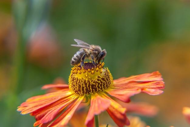 Pszczoła miodna pokryta żółtym pyłkiem pić nektar, zapylający kwiat pomarańczy
