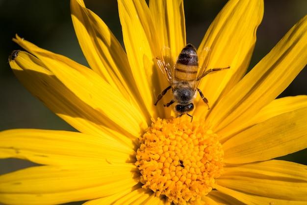 Pszczoła miodna siedzący na żółty kwiat z bliska w ciągu dnia