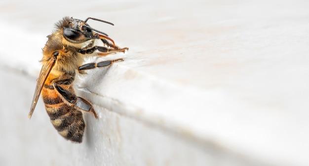 Pszczoła miodna siedzi na białym marmurze i myje się po deszczu. makro.