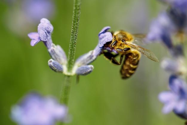 Pszczoła miodna siedzi na fioletowym kwiecie lawendy