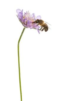 Pszczoła miodna wylądowała na kwitnącej roślinie, żerowała, apis mellifera, na białym tle