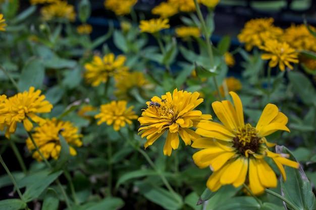 Pszczoła miodna z żółtego kwiatu.