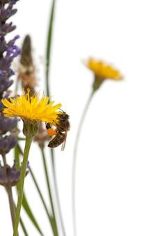 Pszczoła miodna zachodnia lub europejska pszczoła miodna, apis mellifera, niosąc pyłek, na kwiat przed białym tle