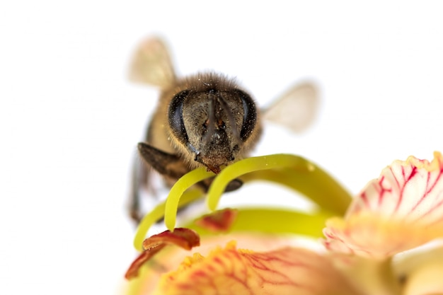Pszczoła miodna zapylająca kwiaty tamaryndowca. pszczoły są przydatne w rolnictwie. pomaga zapylać kwiaty, aby uzyskać plon