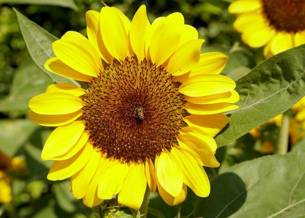 Pszczoła miodna zapylająca słonecznik helianthus