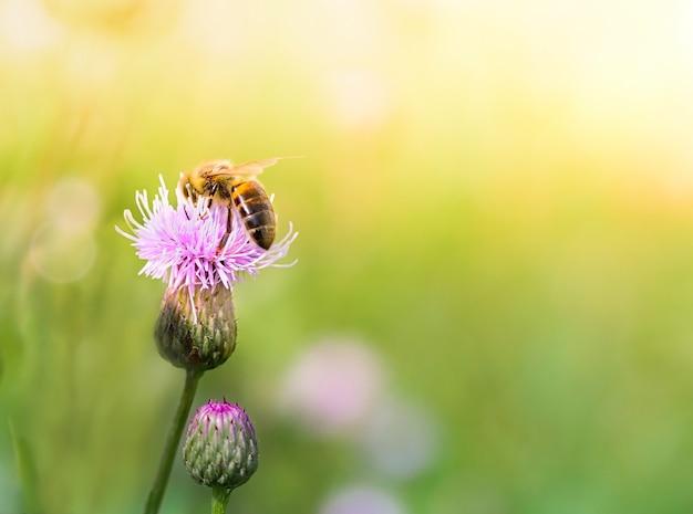 Pszczoła miodna zbiera nektar z dzikich kwiatów na letniej łące.