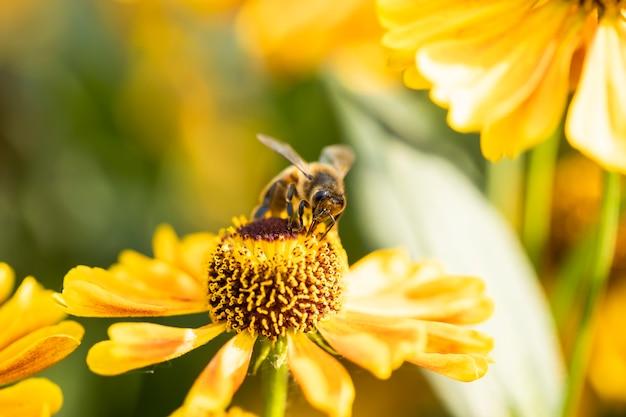 Pszczoła miodna zbiera nektar z kwiatów ogrodowych