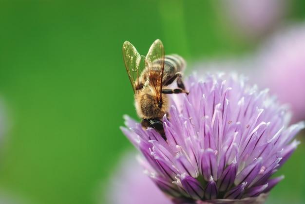 Pszczoła miodna zbierająca nektar na fioletowym kwiatu szczypiorku zielonym tle kopii przestrzeni