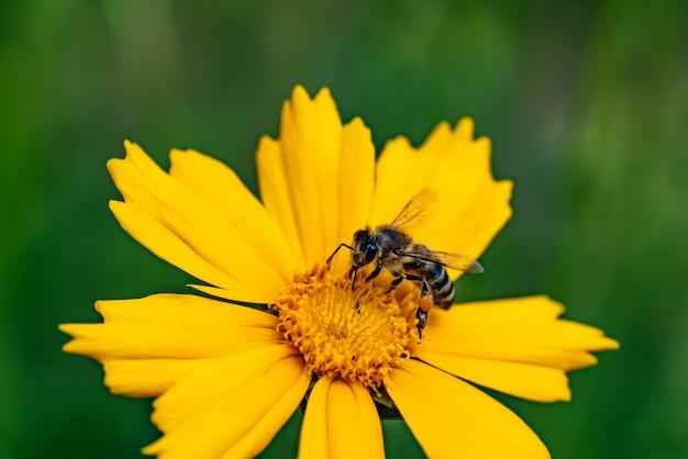 Pszczoła miodna zbierająca pyłek na jasnożółtym kwiatku