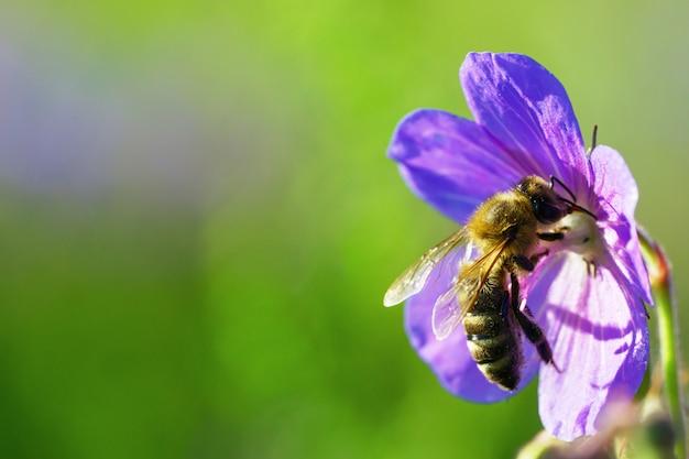 Pszczoła miodna zbierająca pyłek z fioletowego dzikiego kwiatu