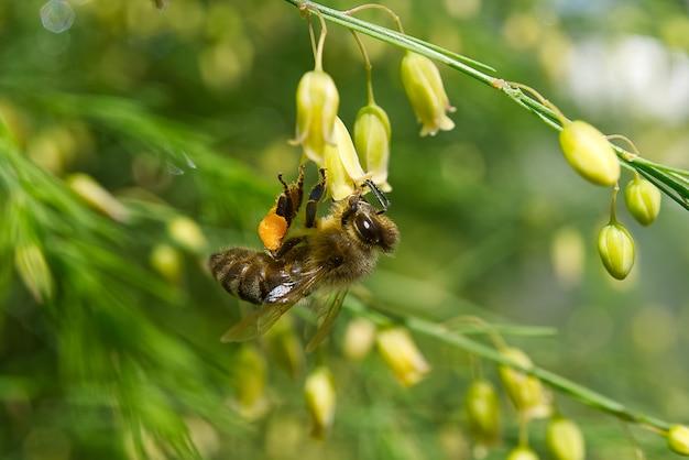 Pszczoła miodna zbierająca pyłek z kwiatów szparagów tenuifolius. strzelać makro.
