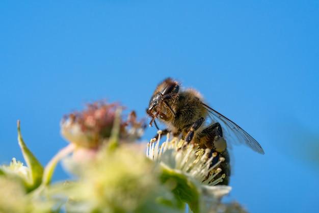 Pszczoła miodna zbierająca pyłek z kwiatów.
