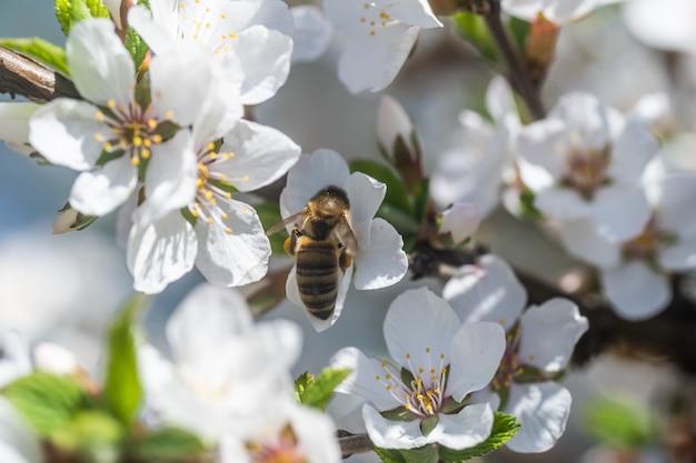 Pszczoła miodna zbierająca pyłek z kwiatu wiśni